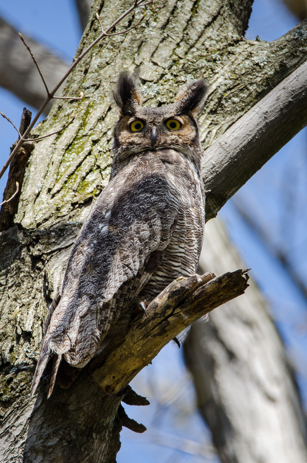 Male   Great Horned Owl   Nikon D7000 ISO 800 600mm f/10 1/640 sec
