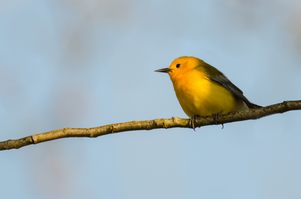 Prothonotary Warbler  Nikon D7000 ISO 720 600mm f/7.1 1/800 sec