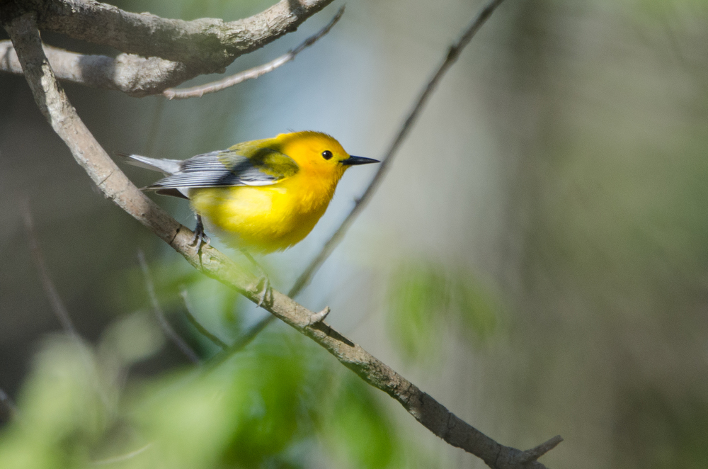 Prothonotary Warbler  Nikon D7000 ISO 500 600mm f/6.3 1/1000