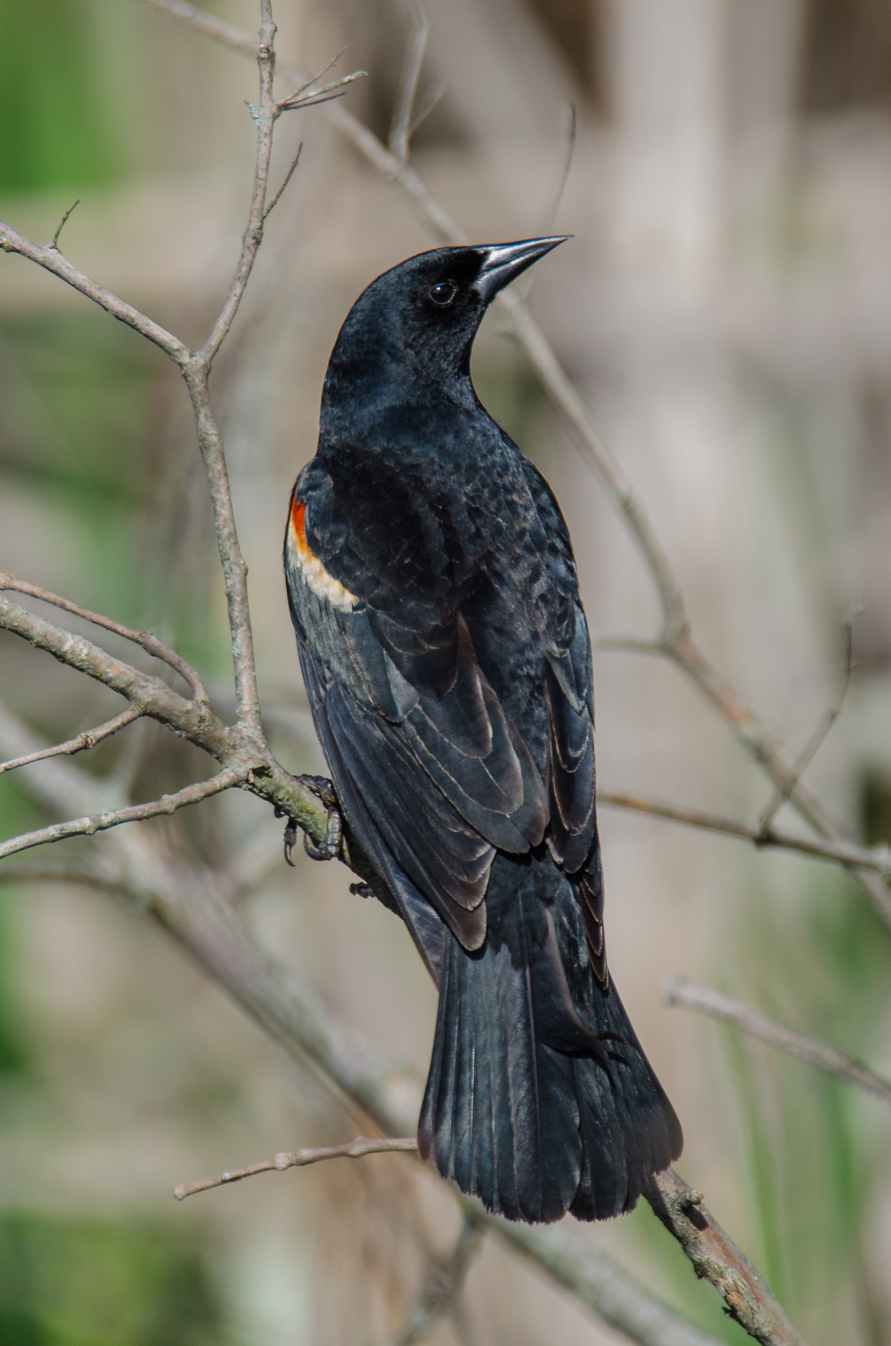 Red-Winged Blackbird  Nikon D7000 ISO 720 600mm f/6.3 1/1000