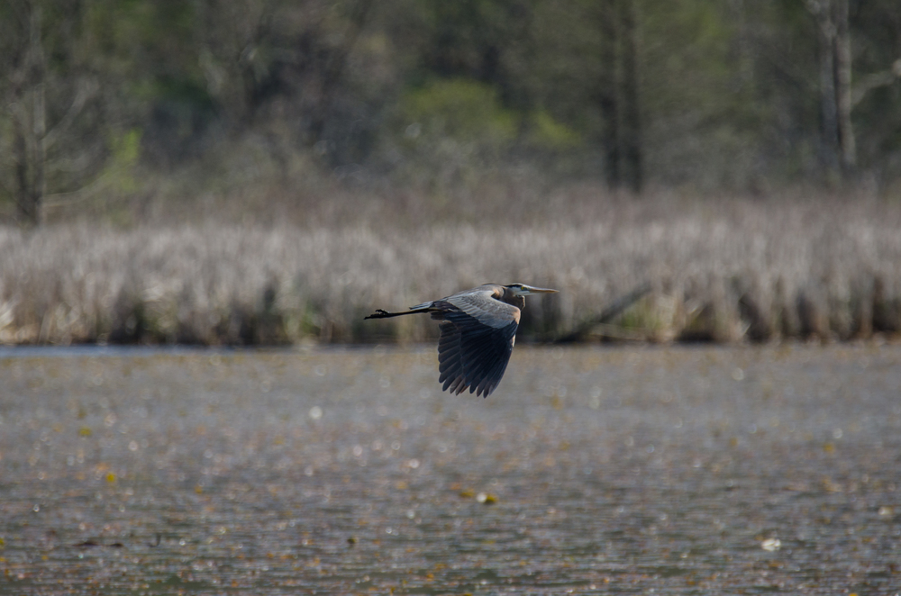 Great Blue Heron  Nikon D7000 ISO 100 600mm f/7.1 1/1250 sec