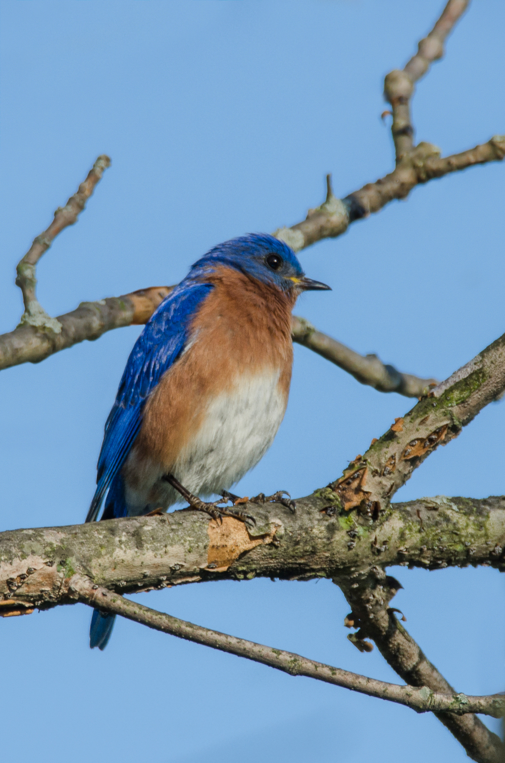 Eastern Bluebird  Nikon D7000 ISO 250 600mm f/10 1/250