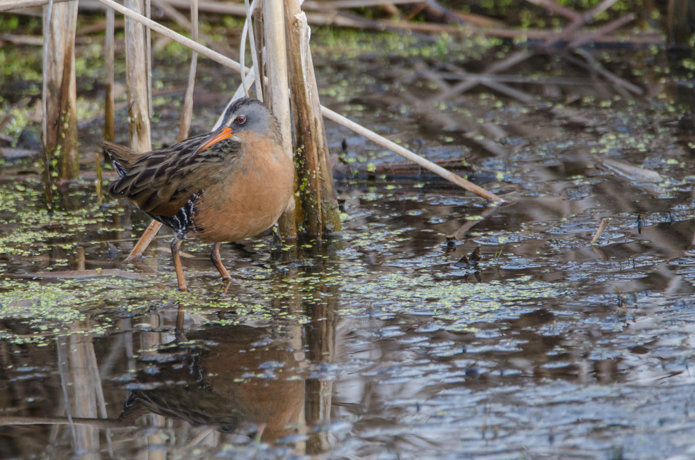 Virginia Rail    Nikon D7000 ISO 400 600mm f/6.3 1/200 sec