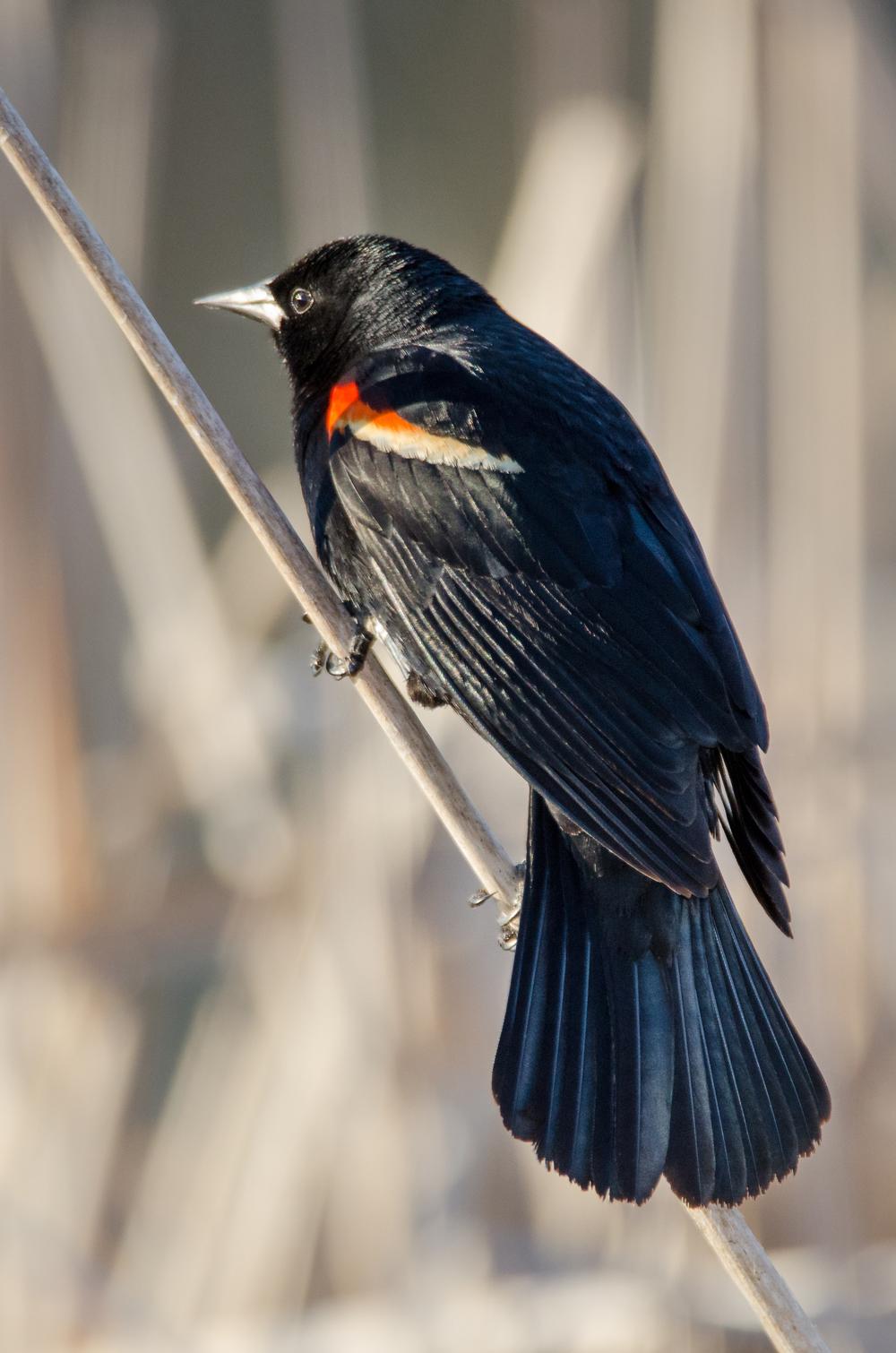 Male  Red-Winged Blackbird  Nikon D7000 ISO 800 600mm f/7.1 1/640 sec