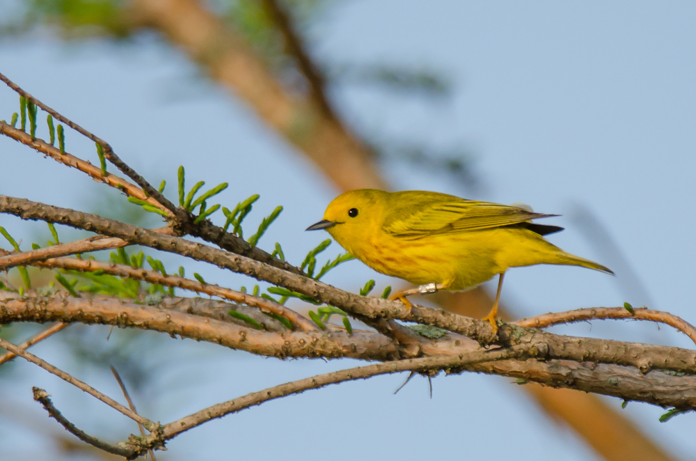 Banded  Yellow Warbler  Nikon D7000 ISO 400 600mm f/7.1 1/640 sec