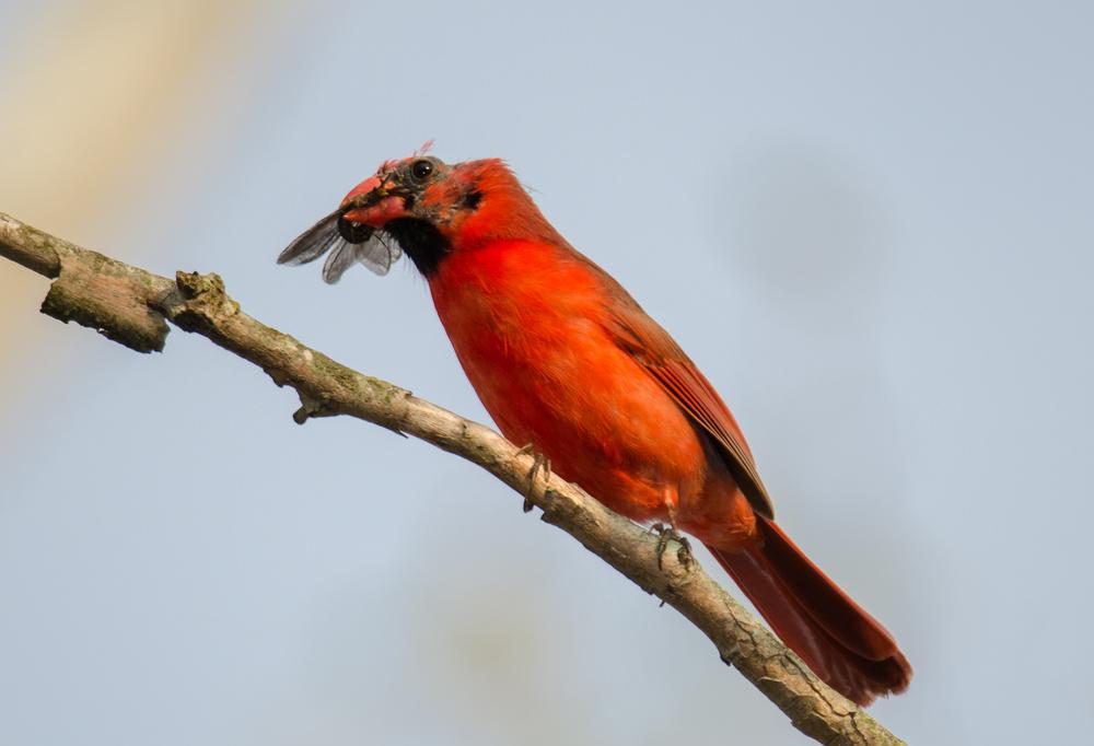Northern Cardinal with Bug Bug  Nikon D7000 ISO 400 600mm f/6.3 1/400 sec