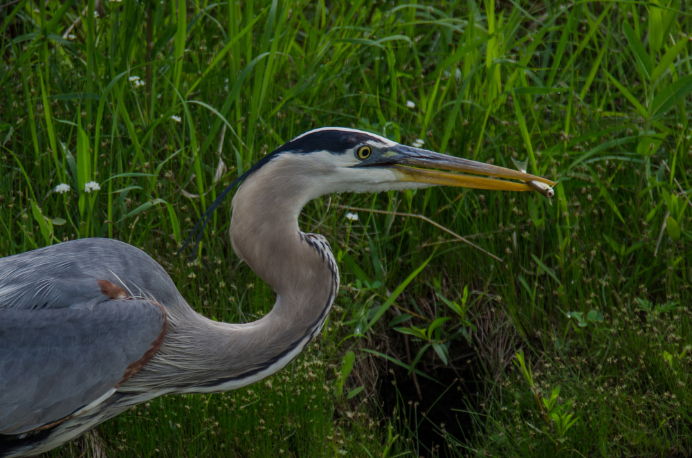 Great Blue Heron with Fish  Nikon D7000 ISO 400 600mm f/7.1 1/640 sec.