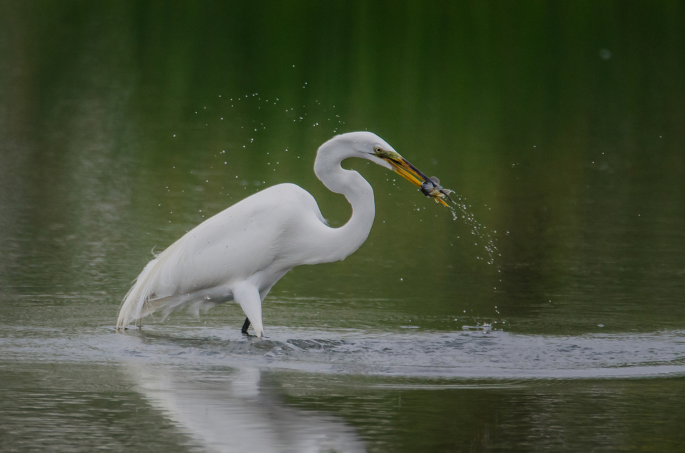 Great Egret with Fish  Nikon D7000 ISO 800 600mm f/7.1 1/1250 sec.