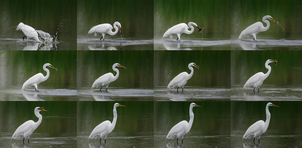 Great Egret Fishing  Nikon D7000 ISO 800 600mm f/7.1 1/1250 sec.