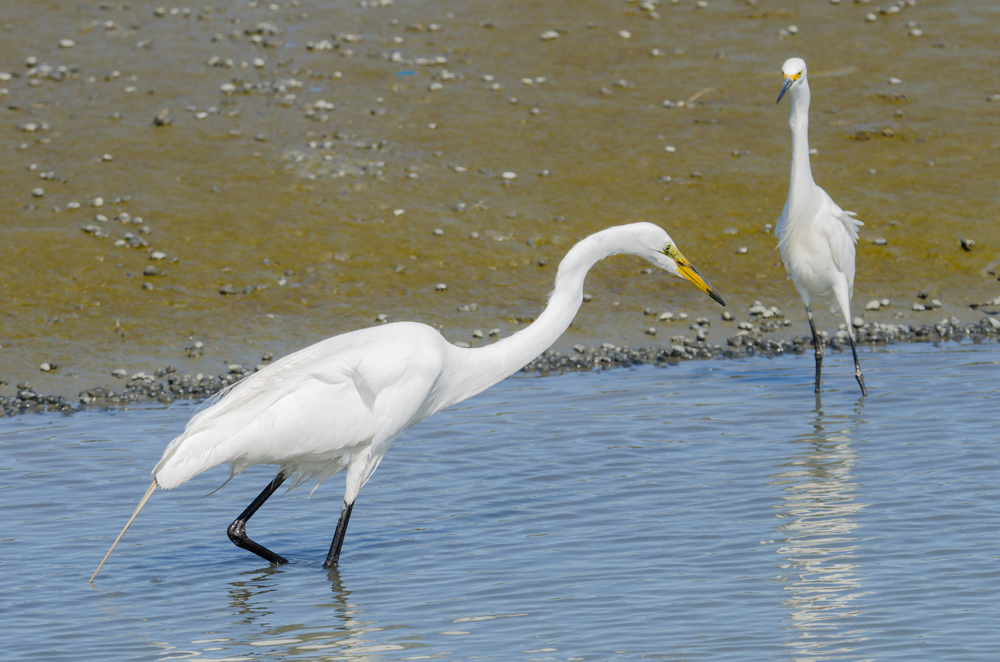 Great Egret and Snowy Egret  Nikon D7000 ISO 140 260mm f/10 1/320 sec.