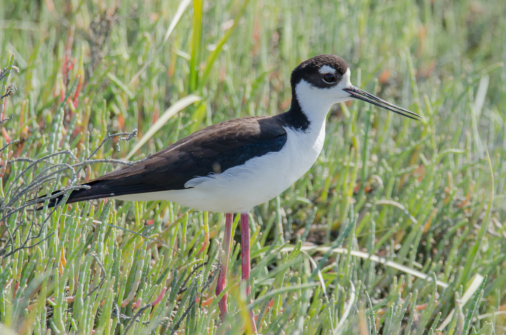 Black-Necked Stilt  Nikon D7000 ISO 400 600mm f/10 1/800 sec.