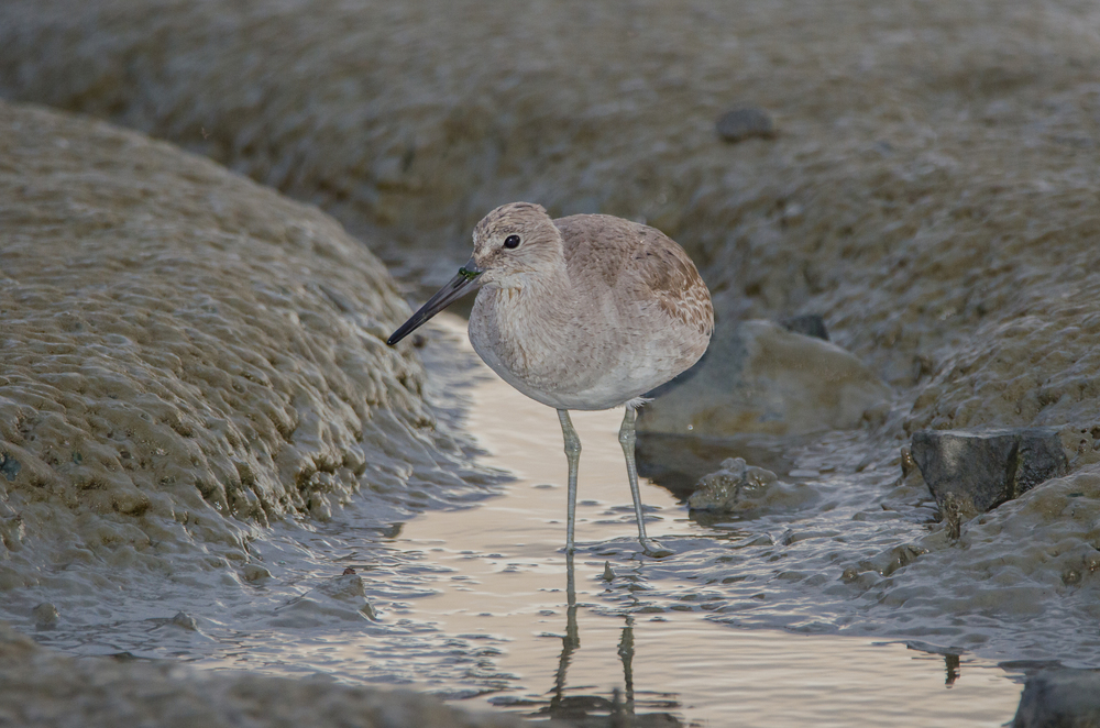 Willet  Nikon D7000 ISO 800 500mm f/6.3 1/320 sec.