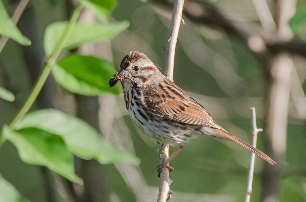 Song Sparrow    Nikon D7000 ISO 720 600mm f.6.3 1/500 sec.