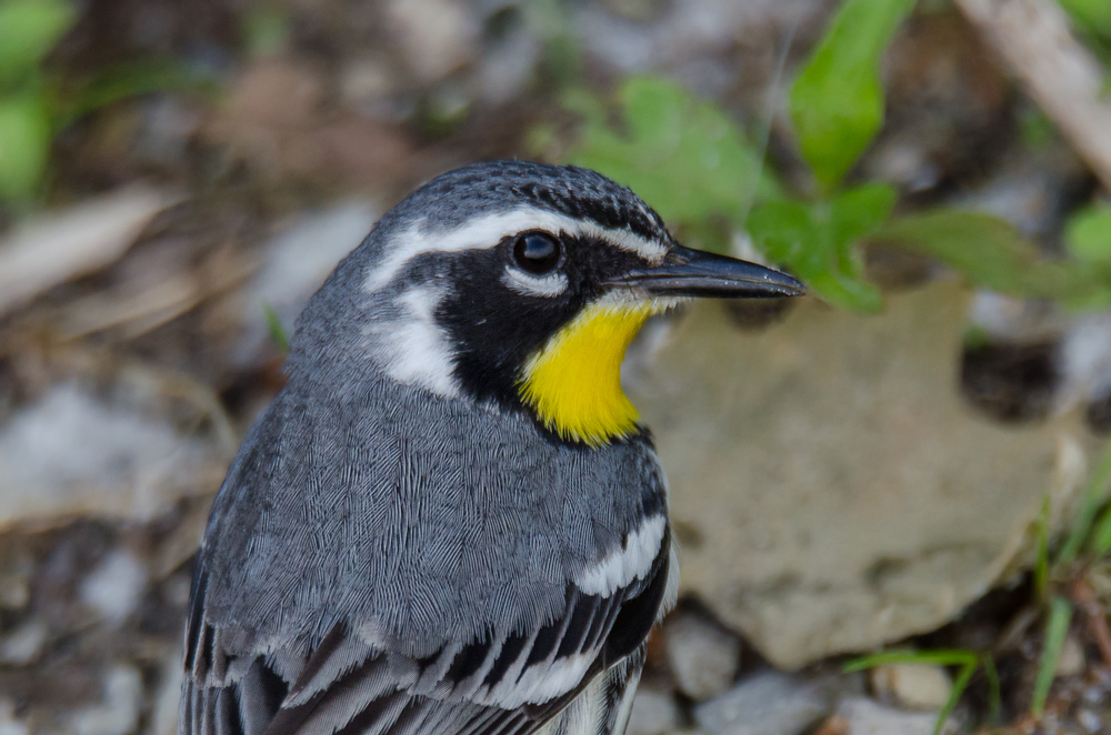Yellow-Throated Warbler  Nikon D7000 ISO 800 600mm f/8.0 1/640 sec.