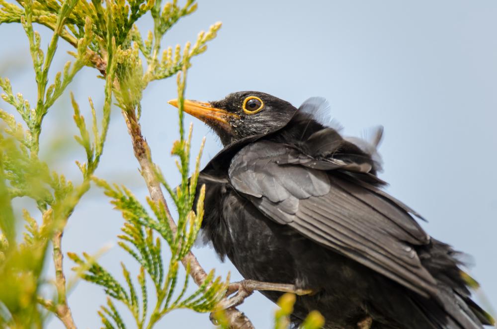 Blackbird - Tilgate Park  Nikon D7000 ISO 450 550mm f/8.0 1/400 sec.