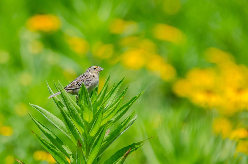 Grasshopper Sparrow  Nikon D7000 ISO 800 600mm f/8.0 1/1600 sec.