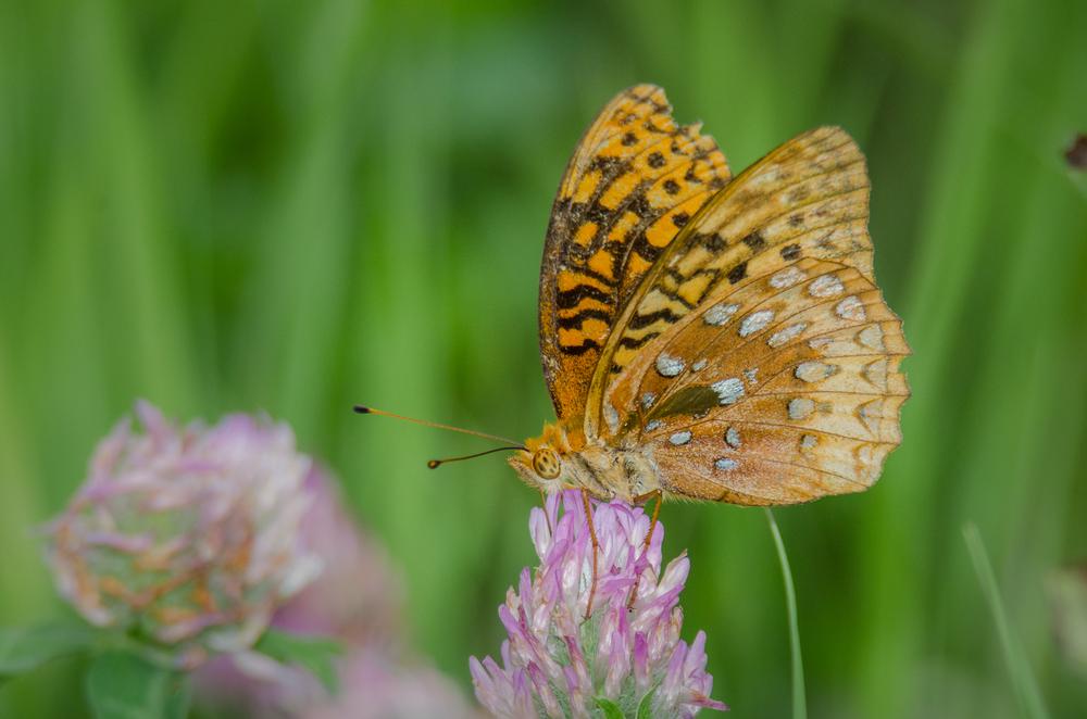 Butterfly  Nikon D7000 ISO 600mm f/10 1/800 sec.