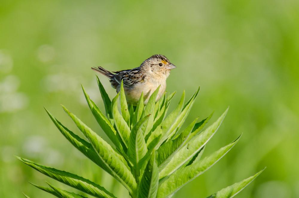 Grasshopper Sparrow  Nikon D7000 ISO 320 600 mm f/8.0 1/500 sec.