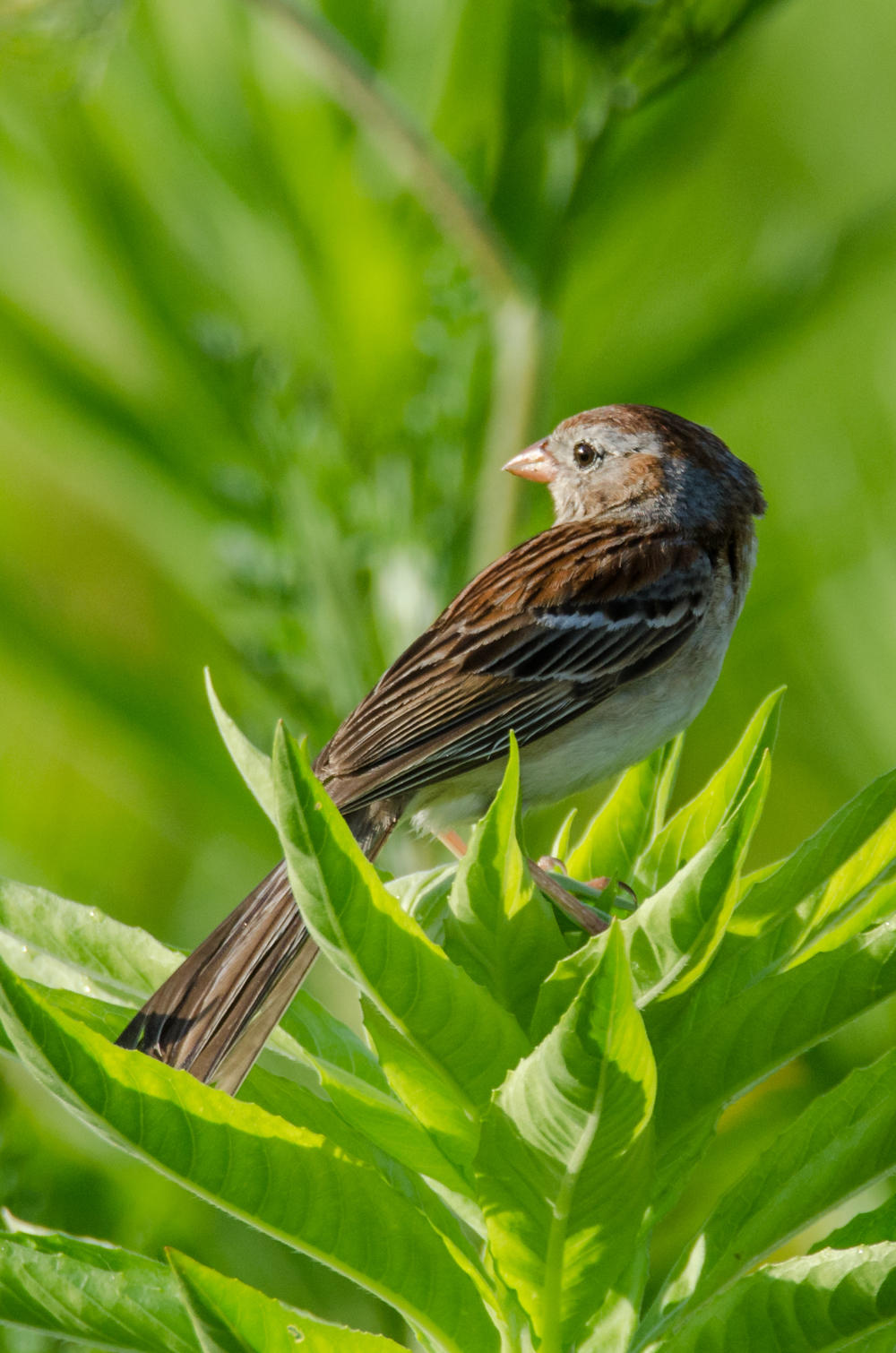 Field Sparrow  Nikon D7000 ISO 400 600 mm f/8.0 1/800 sec.
