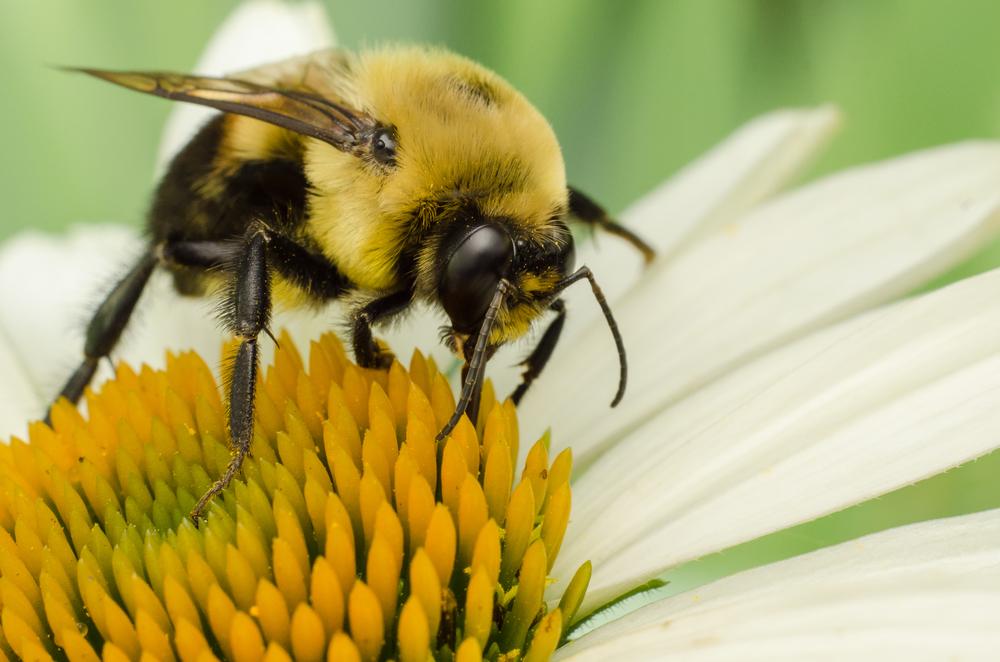 Bumblebee  Nikon D7000 50mm+PK-3 ISO 400 f/11 1/250 sec.