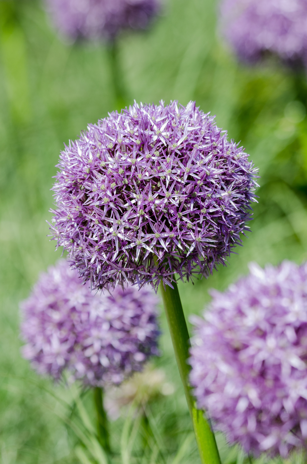 Allium  Nikon D7000 ISO 320 220 mm f/8.0 1/400 sec.