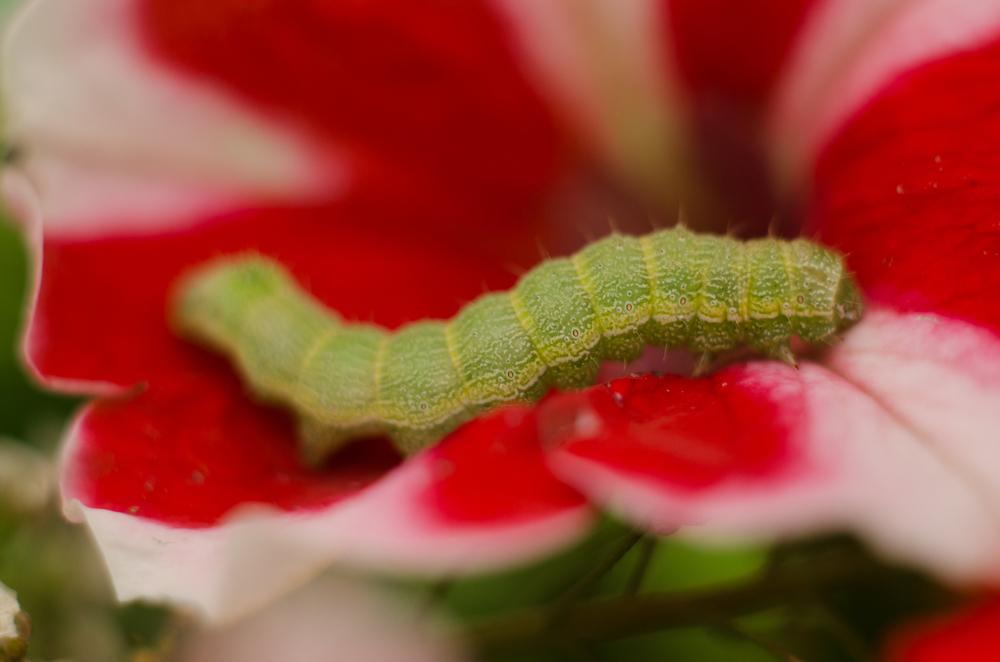 Caterpillar #1  Nikon D7000 ISO 400 50mm + 32mm extensionf/22 1/2500 sec.