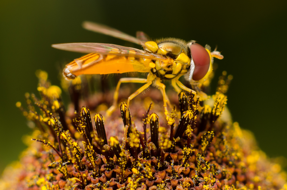Hoverfly #2  Nikon D7000 ISO 200 50mm + 52mm of extension tubes f/22 1/500 sec.