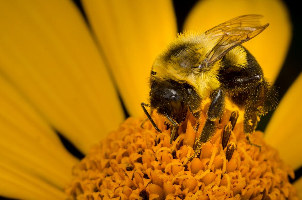 Bumblebee  Nikon D7000 ISO 200 50mm + 30mm extension tubef/161/320 sec.
