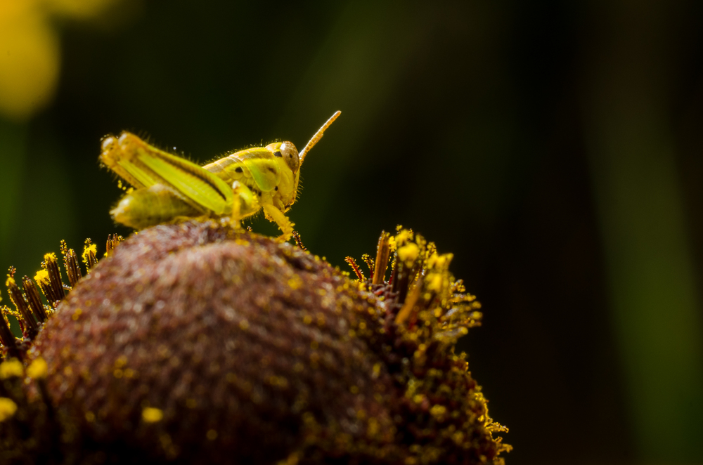 Grasshopper  Nikon D7000 ISO 200 50mm + 30mm of extension tubes f/14 1/320 sec.