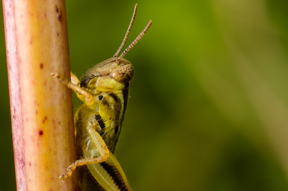 Grasshopper Nymph  Nikon D7000 50mm + 59mm of extension tubes ISO 100 f/11 1/125/sec.