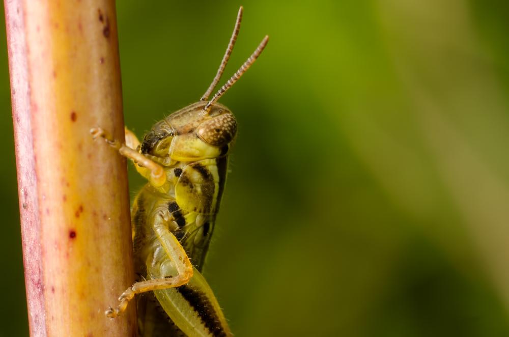 Grasshopper Nymph Nikon D700050mm + 59mm of extension tubes ISO 100f/11 1/125/sec.