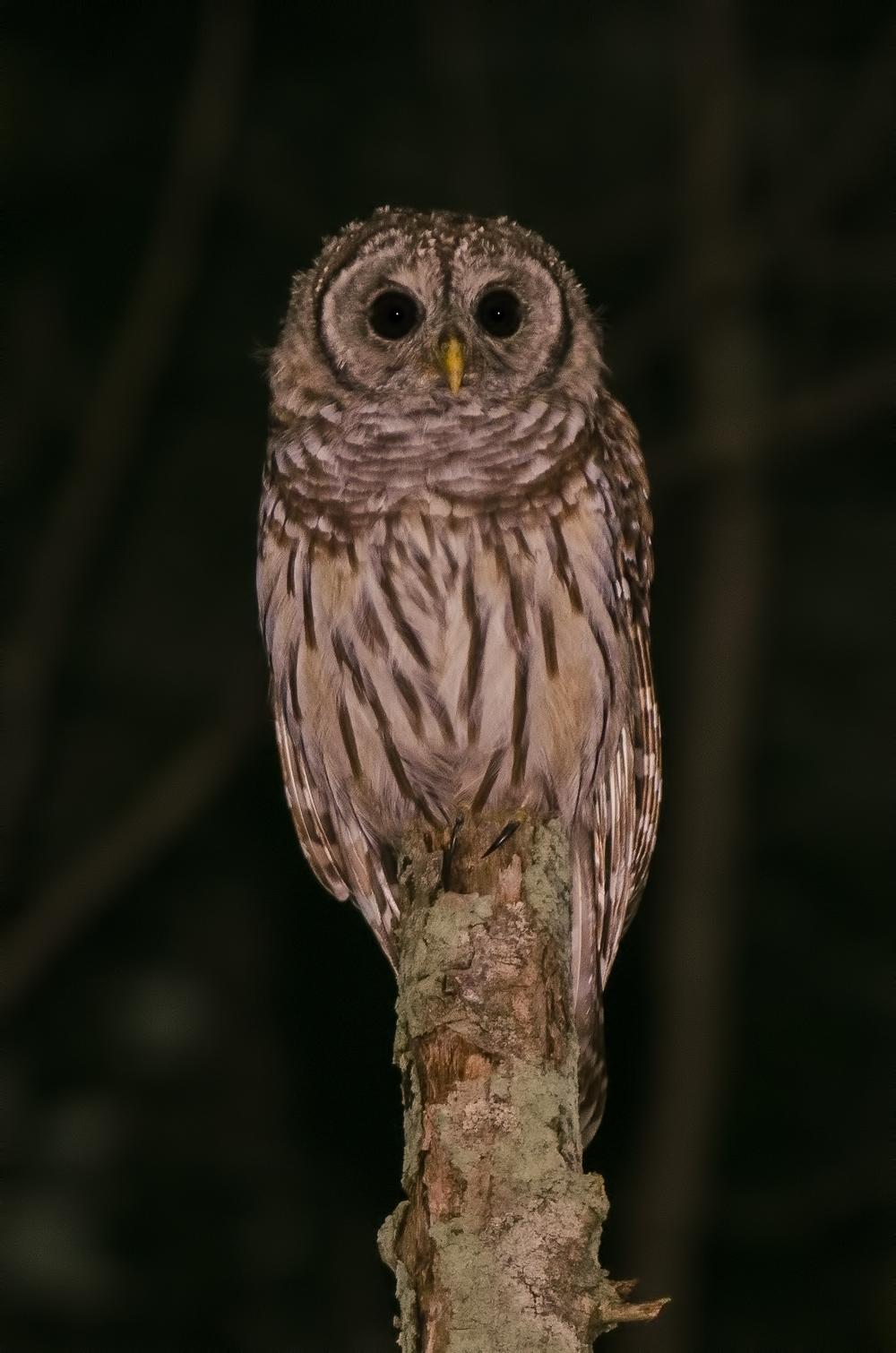 Juvenile Barred Owl  Nikon D7000 ISO 800 200mm f/5.0 1/50 sec.
