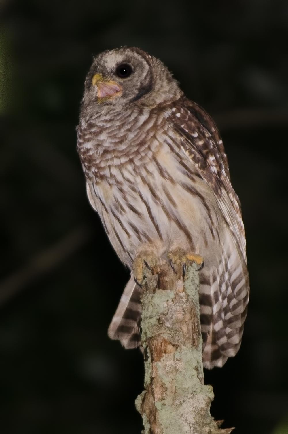 Juvenile Barred Owl Nikon D7000 ISO 800 200mm f/4.0 1/80 sec.