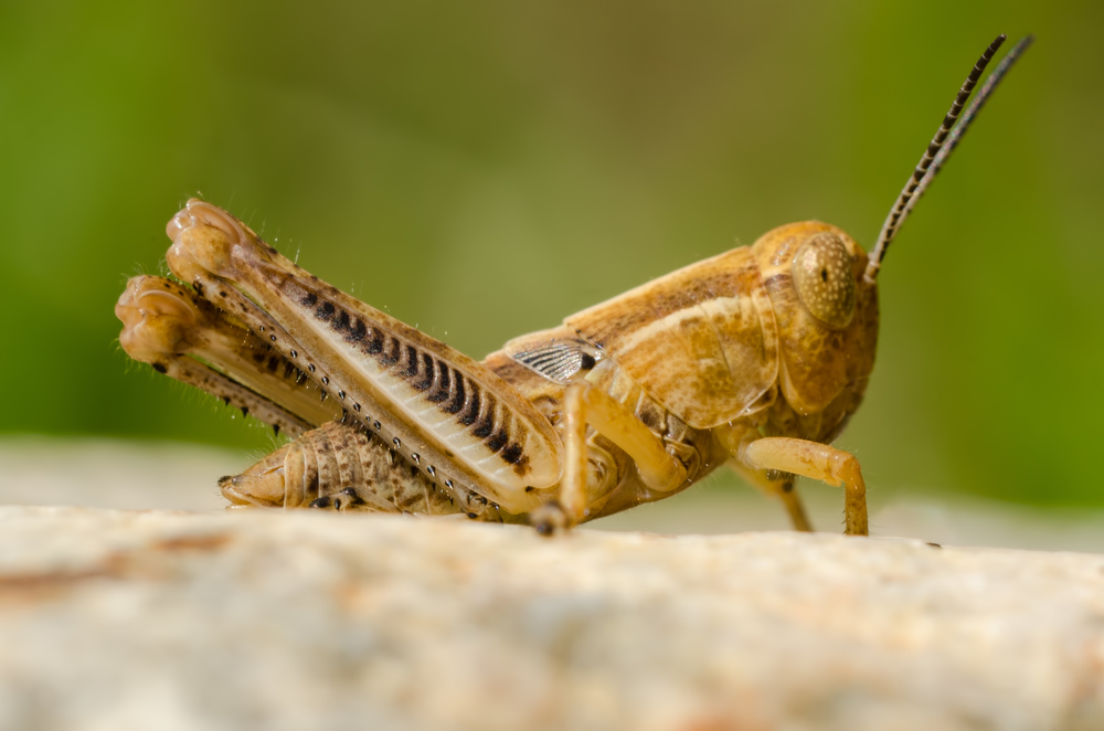 Grasshopper Nymph  Nikon D7000 ISO 400 1/250 sec. Nikkor 105mm f/4 Micro AI manual focus lens + 27mm + 20mm + 14mm + 12mm extension tubes, off-body flash with DIY snoot/diffuser