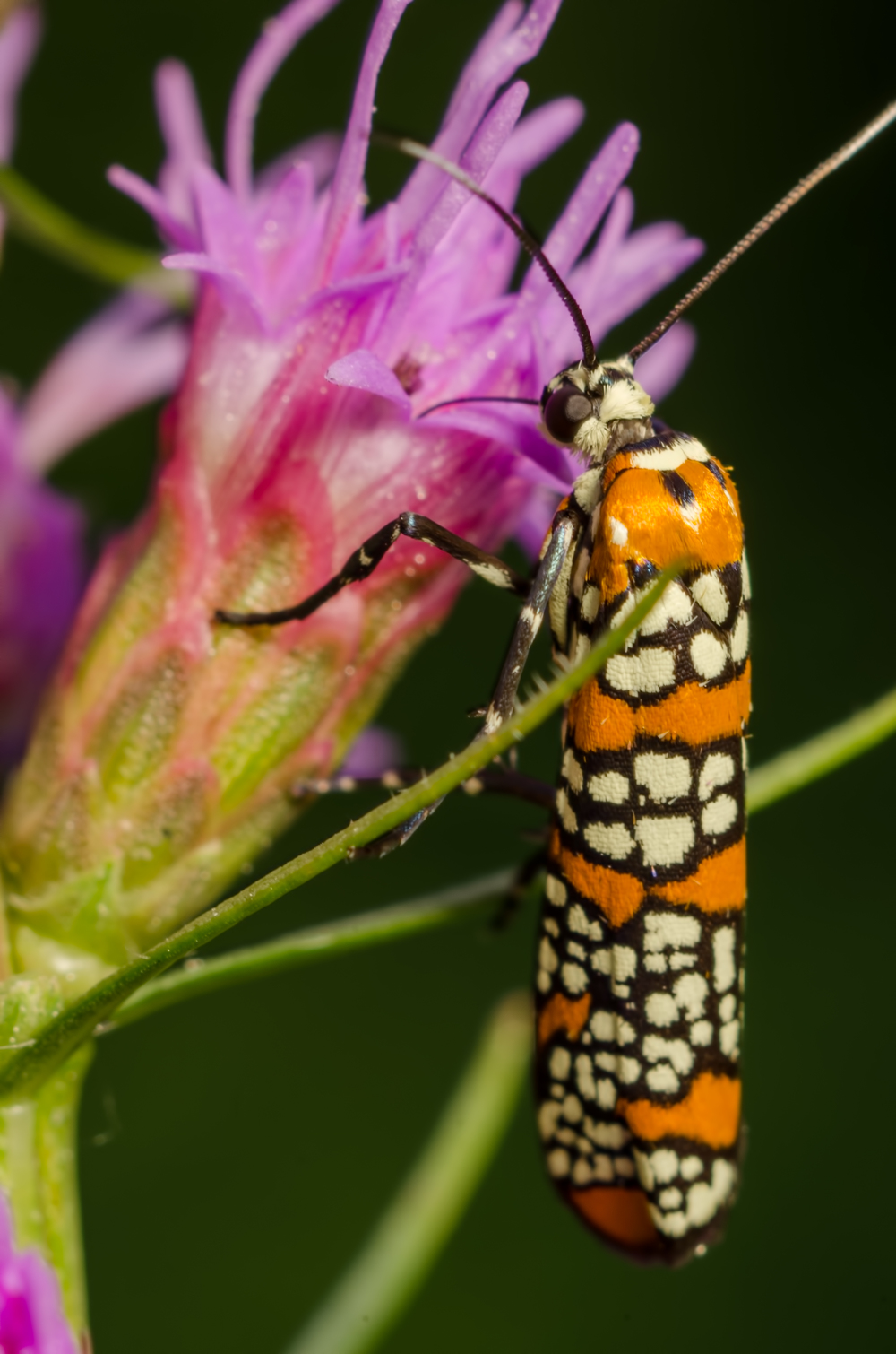 Ailanthus Webworm Moth  Nikon D7000 ISO 200  f/11 1/100 sec. Nikkor 105mm f/4 Micro AI manual focus lens + 27mm + 20mm + 14mm + 12mm extension tubes, off-body flash with modified soft box