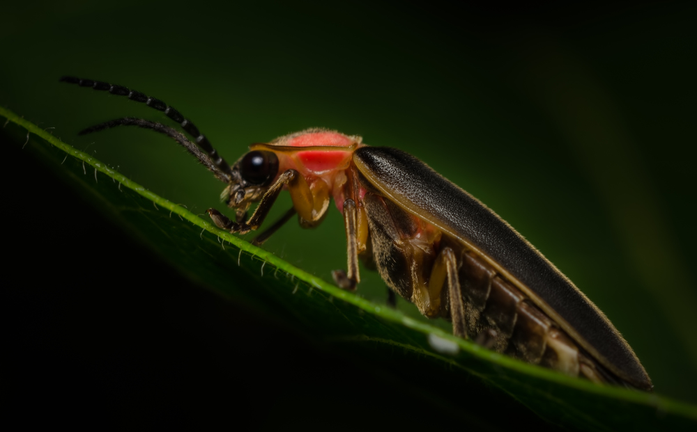 Firefly (Lampyridae family)  Focus-stack of three hand-held images. Taken with Nikon D7000 ISO 100 f/11 1/100 sec. and Nikkor 105mm f/4 Micro AI manual focus lens + 27mm + 20mm + 14mm + 12mm extension tubes, off-body flash with DIY snoot/diffuser