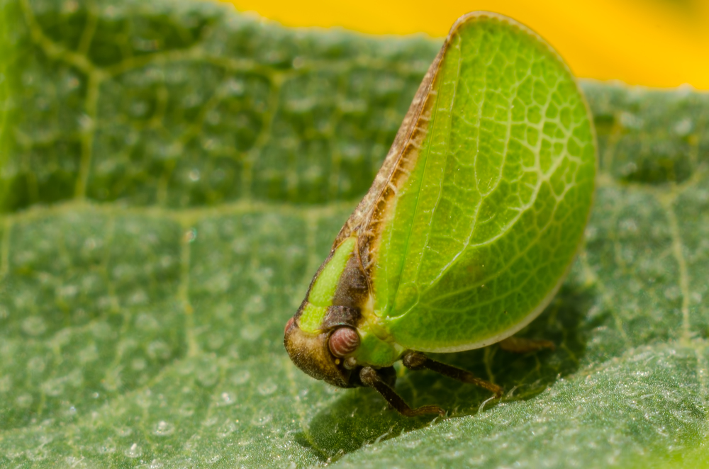 Leaf Hopper (  Acanalonia Bivittata)  Nikon D7000 ISO 200  f/11 1/100 sec. Nikkor 105mm f/4 Micro AI manual focus lens + 27mm + 20mm + 14mm + 12mm extension tubes, off-body flash with modified soft box