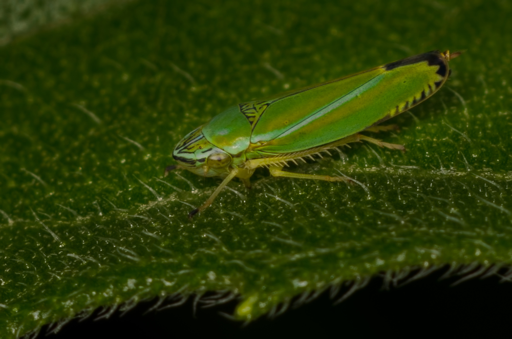 Leaf Hopper (   Graphocephala versuta)   Nikon D7000 ISO 200 f/11 1/125 sec. and Nikkor 105mm f/4 Micro AI manual focus lens + 27mm + 20mm + 14mm + 12mm extension tubes, off-body flash with DIY diffuser