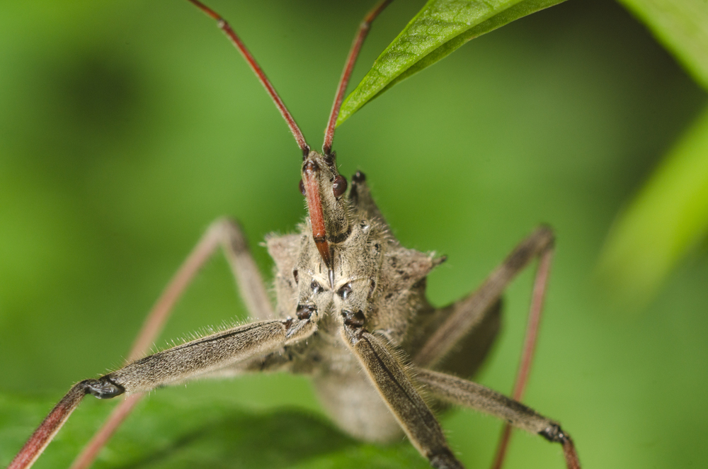 Wheel Bug (Reduviidae  Harpactorinae   Harpactorini   Arilus )  Nikon D7000 ISO 200  f/11 1/125 sec. Nikkor 105mm f/4 Micro AI manual focus lens + 27mm + 20mm + 14mm + 12mm extension tubes, off-body flash with DIY diffuser