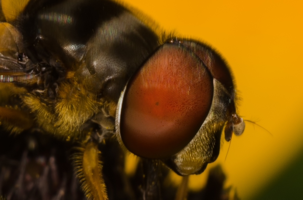 Hoverfly  Nikon D7000 ISO 200  f/11 1/125 sec. Nikkor 105mm f/4 Micro AI manual focus lens + 27mm + 20mm + 14mm + 12mm extension tubes, off-body flash with DIY diffuser