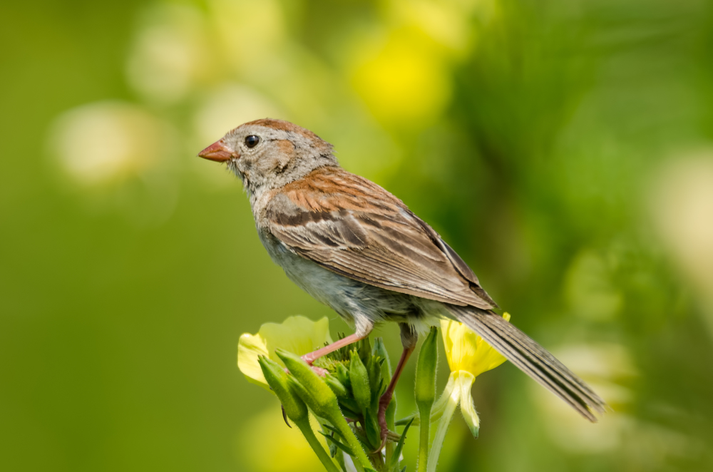 Field Sparrow  Nikon D7000 ISO 400 600mm f/8.0 1/800 sec.