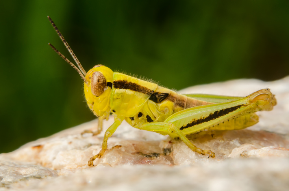 Grasshopper  Nikon D7000 ISO 200 f/16 1/250 sec. sec. Nikkor 50mm f/1.4 reversed with BR-2 Reversing Ring, off-camera flash with modified soft box.