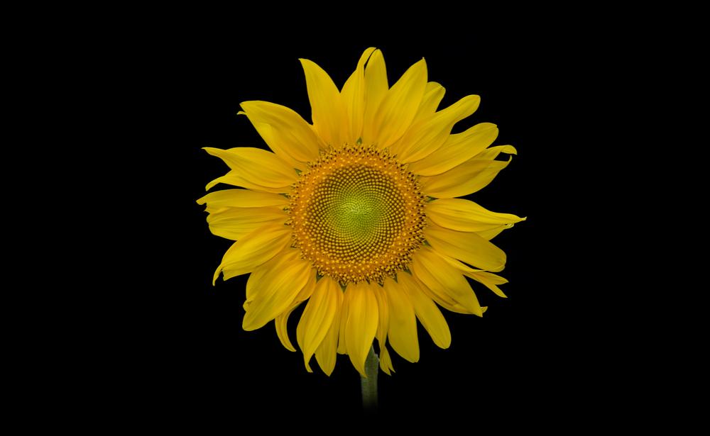 Emma's Sunflower  Nikon D7000 ISO 100 50mm f/16 1/6 sec.
