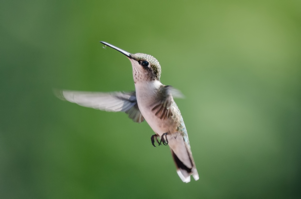 Ruby-Throated Hummingbird  Nikon D7000 ISO 400 600mm f/8 1/500 sec.
