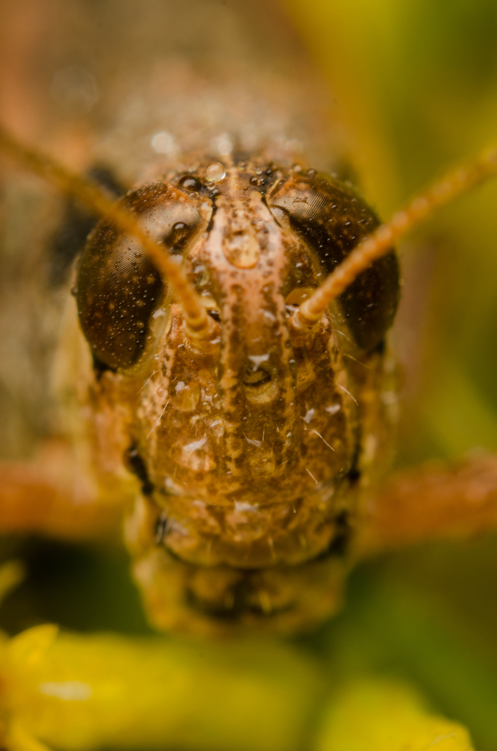 Grasshopper  Nikon D7000 ISO 200 f/16 1/125 sec. Nikkor 50mm f/1.4 reversed with BR-2 Reversing Ring, off-camera flash with modified soft box.