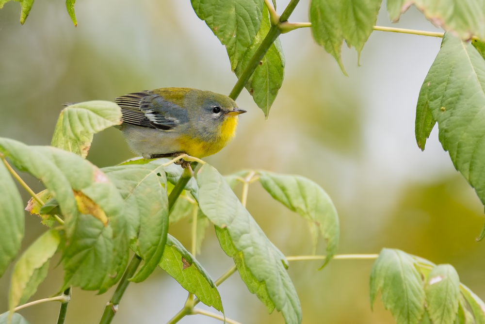 Northern Parula  Nikon D610 ISO 1600 600mm f/8.0 1/640 sec.