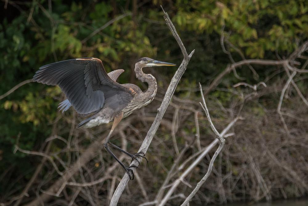 Blue Heron  Nikon D610 ISO 800 600mm f/8.0 1/1250 sec.