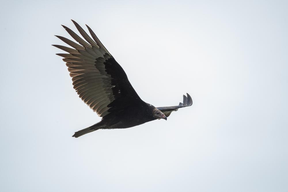 Turkey Vulture  Nikon D610 ISO 800 600mm f/10 1/800 sec.