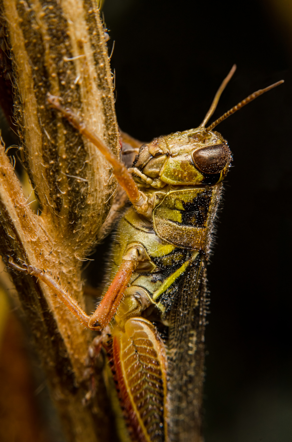 Grasshopper  Nikon D7000 ISO 200 1/125 sec. Nikkor 50mm f/1.4 reversed with BR-2 Reversing Ring, off-camera flash with modified soft box.