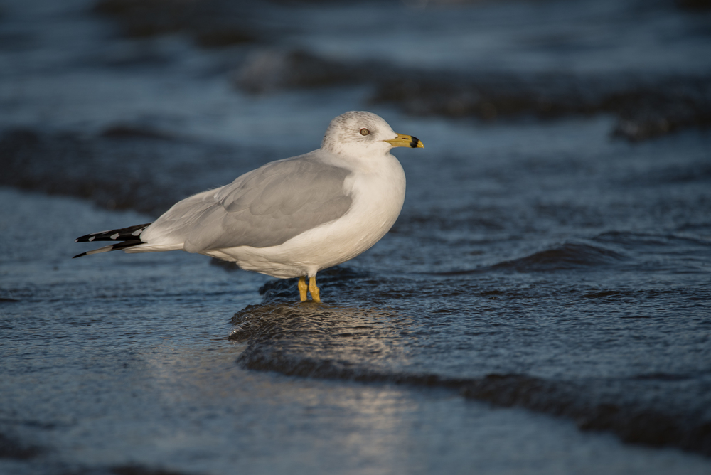 Ring-Billed Gull  Nikn D750 ISO 400 600mm f/6.3 1/1600 sec.